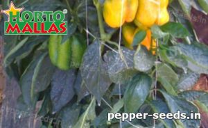 hortomallas mesh installed on peppers crops