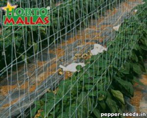 Field of pepper plant